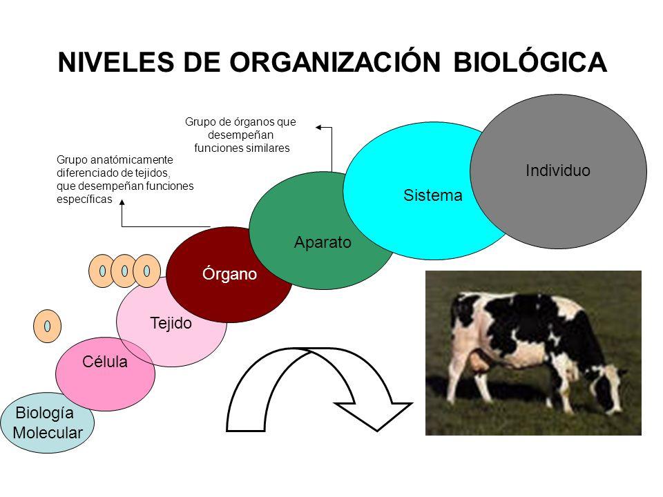 NIVELES DE ORGANIZACIÓN BIOLÓGICA Biología Molecular Célula Tejido Órgano Aparato Sistema Individuo Grupo anatómicamente diferenciado de tejidos, que