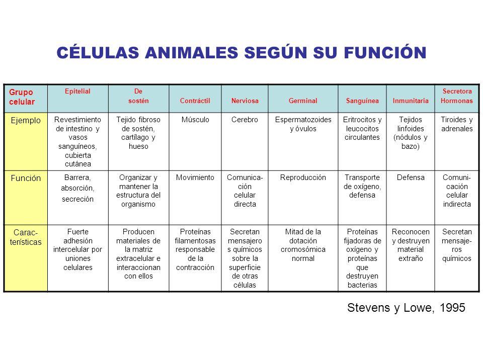 CÉLULAS ANIMALES SEGÚN SU FUNCIÓN Grupo celular EpitelialDe sosténContráctilNerviosaGerminalSanguíneaInmunitaria Secretora Hormonas Ejemplo Revestimie