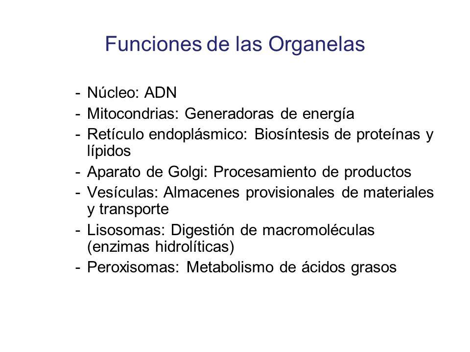 Funciones de las Organelas -Núcleo: ADN -Mitocondrias: Generadoras de energía -Retículo endoplásmico: Biosíntesis de proteínas y lípidos -Aparato de G