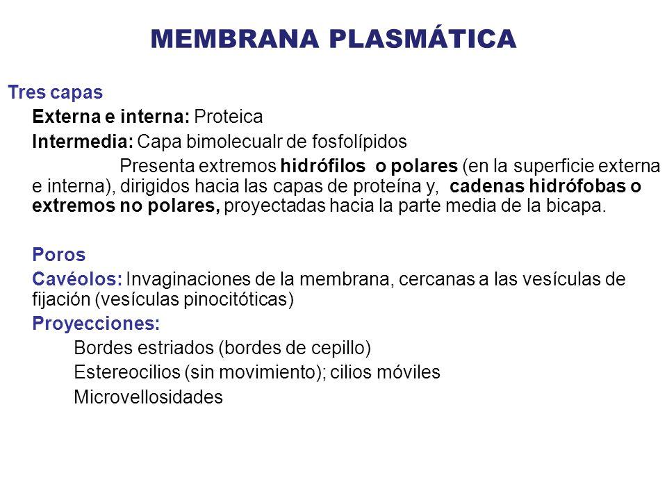 MEMBRANA PLASMÁTICA Tres capas Externa e interna: Proteica Intermedia: Capa bimolecualr de fosfolípidos Presenta extremos hidrófilos o polares (en la