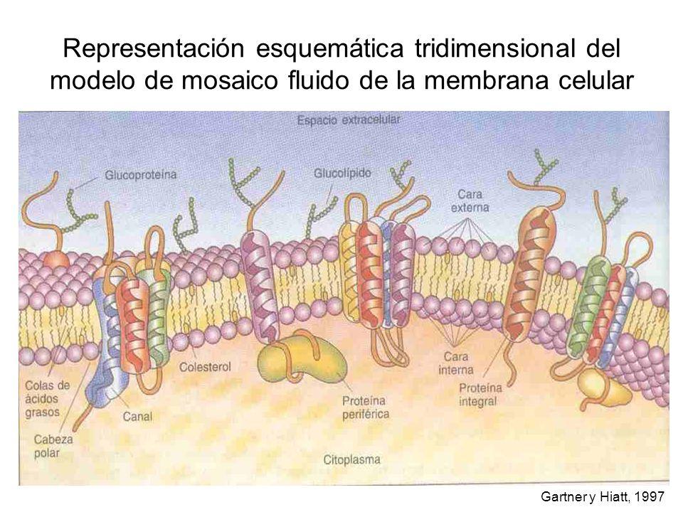 Representación esquemática tridimensional del modelo de mosaico fluido de la membrana celular Gartner y Hiatt, 1997