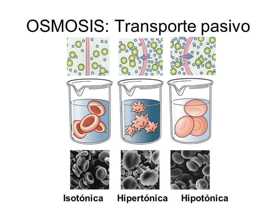 OSMOSIS: Transporte pasivo IsotónicaHipertónicaHipotónica