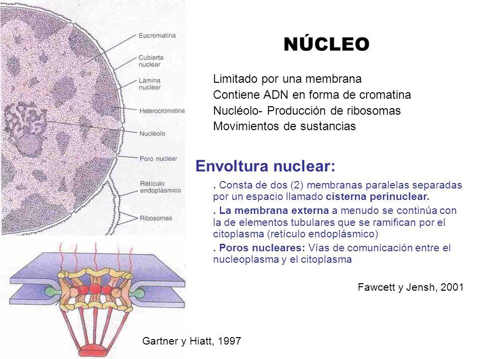 NÚCLEO Limitado por una membrana Contiene ADN en forma de cromatina Nucléolo- Producción de ribosomas Movimientos de sustancias Envoltura nuclear:. Co