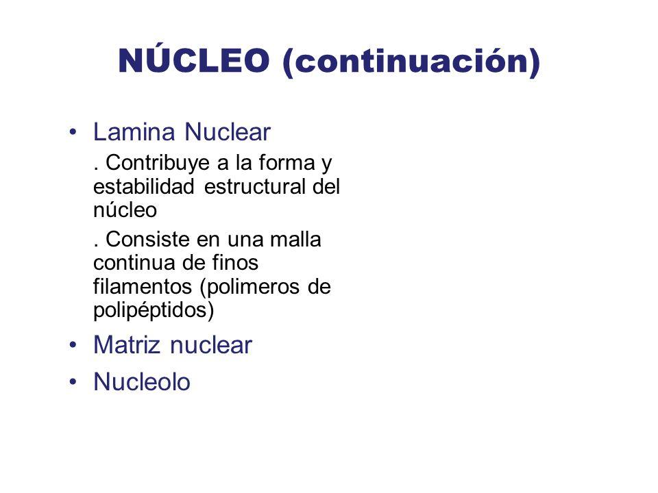 NÚCLEO (continuación) Lamina Nuclear. Contribuye a la forma y estabilidad estructural del núcleo. Consiste en una malla continua de finos filamentos (