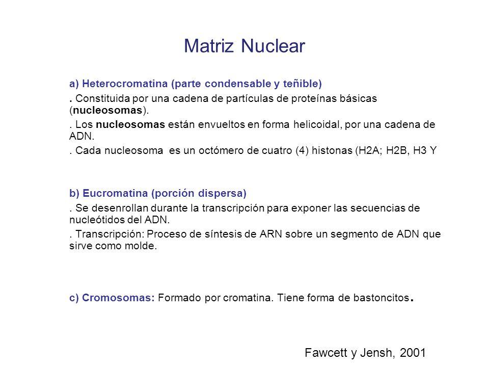 Matriz Nuclear a) Heterocromatina (parte condensable y teñible). Constituida por una cadena de partículas de proteínas básicas (nucleosomas).. Los nuc