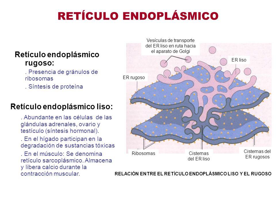 RETÍCULO ENDOPLÁSMICO Retículo endoplásmico rugoso:. Presencia de gránulos de ribosomas. Síntesis de proteína Retículo endoplásmico liso:. Abundante e