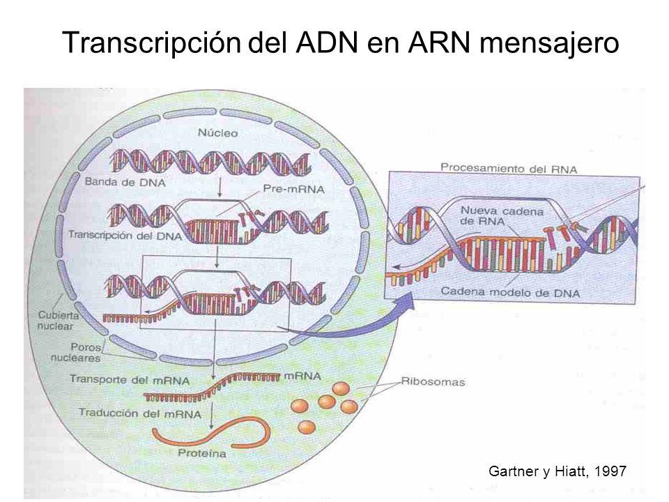 Transcripción del ADN en ARN mensajero Gartner y Hiatt, 1997