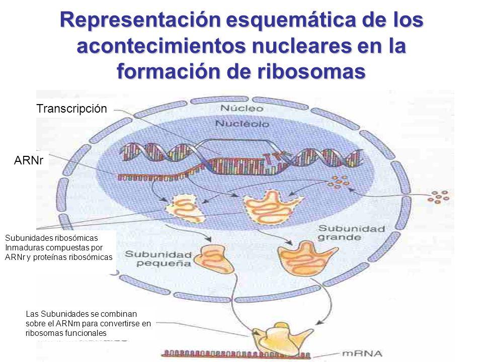 Representación esquemática de los acontecimientos nucleares en la formación de ribosomas Transcripción ARNr Subunidades ribosómicas Inmaduras compuest