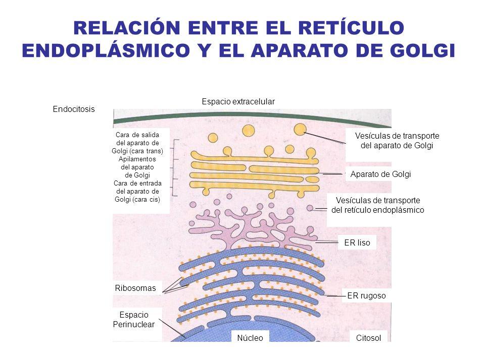 RELACIÓN ENTRE EL RETÍCULO ENDOPLÁSMICO Y EL APARATO DE GOLGI Endocitosis Espacio extracelular ER liso Vesículas de transporte del aparato de Golgi Ap