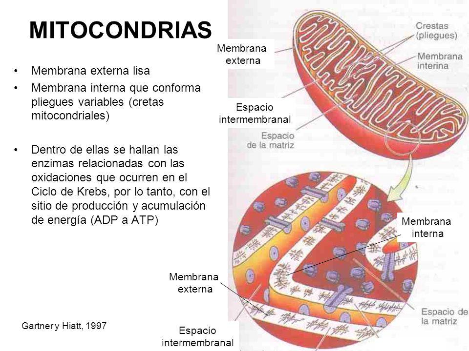 MITOCONDRIAS Membrana externa lisa Membrana interna que conforma pliegues variables (cretas mitocondriales) Dentro de ellas se hallan las enzimas rela