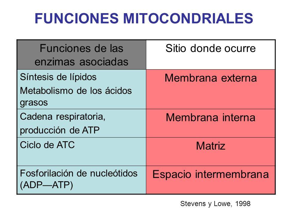 FUNCIONES MITOCONDRIALES Stevens y Lowe, 1998 Funciones de las enzimas asociadas Sitio donde ocurre Síntesis de lípidos Metabolismo de los ácidos gras