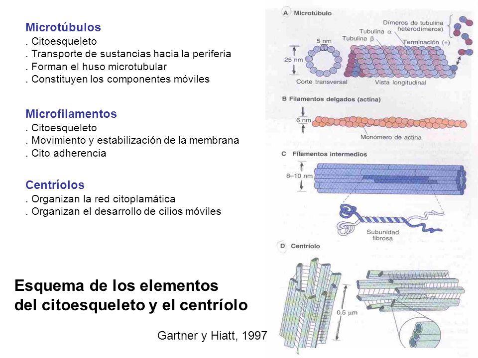 Esquema de los elementos del citoesqueleto y el centríolo Gartner y Hiatt, 1997 Microtúbulos. Citoesqueleto. Transporte de sustancias hacia la perifer