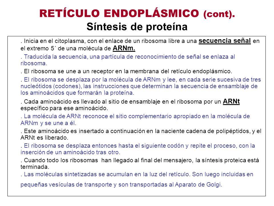 RETÍCULO ENDOPLÁSMICO (cont). Síntesis de proteína. Inicia en el citoplasma, con el enlace de un ribosoma libre a una secuencia señal en el extremo 5´