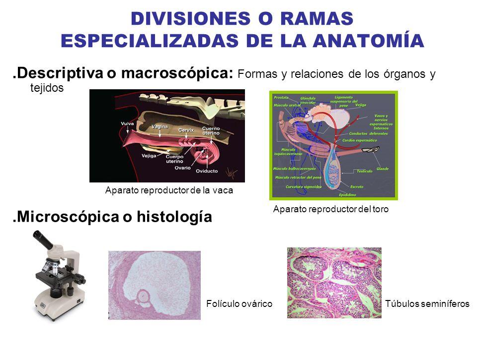 DIVISIONES O RAMAS ESPECIALIZADAS DE LA ANATOMÍA.Descriptiva o macroscópica: Formas y relaciones de los órganos y tejidos.Microscópica o histología Tú