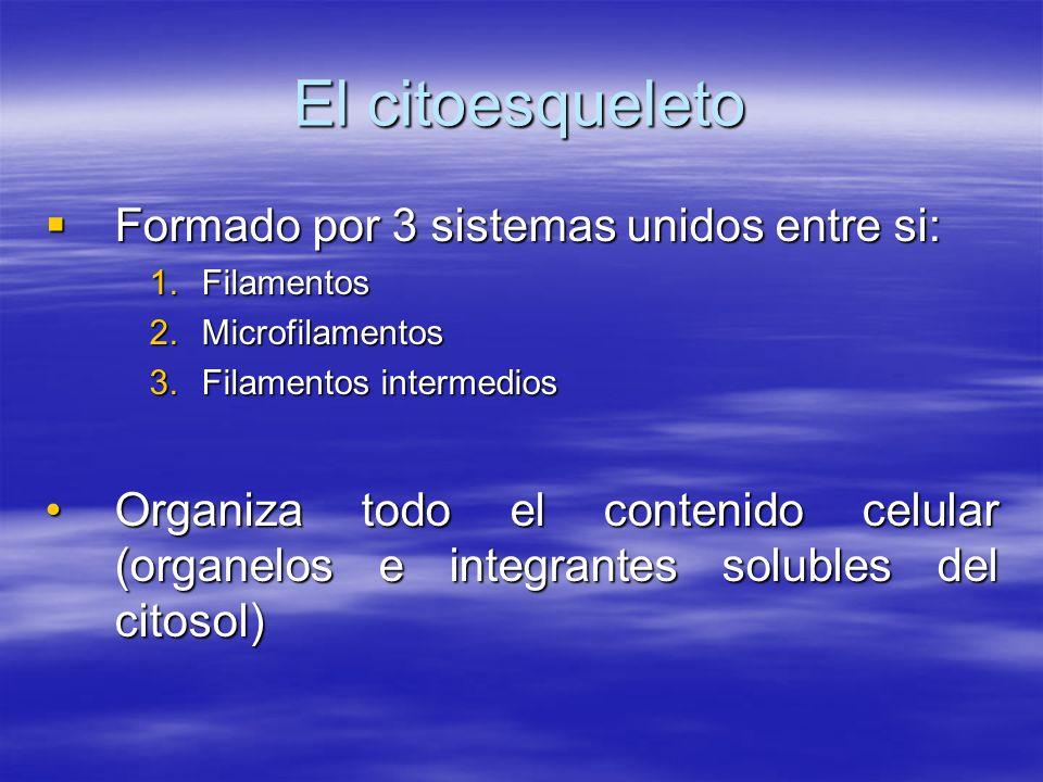 El citoesqueleto Formado por 3 sistemas unidos entre si: Formado por 3 sistemas unidos entre si: 1.Filamentos 2.Microfilamentos 3.Filamentos intermedi