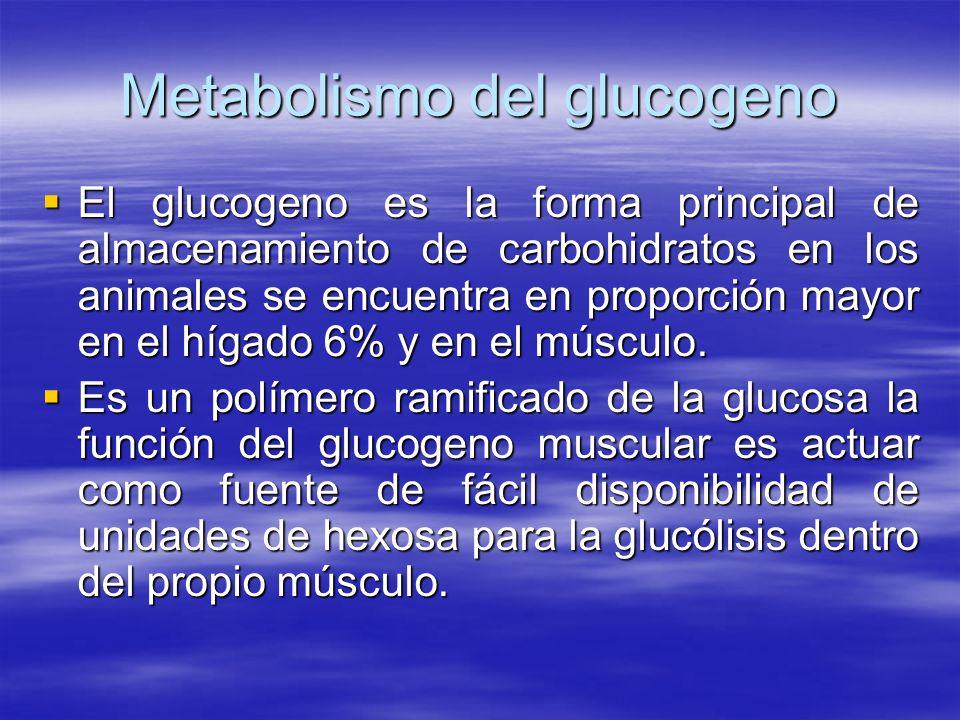 Metabolismo del glucogeno El glucogeno es la forma principal de almacenamiento de carbohidratos en los animales se encuentra en proporción mayor en el