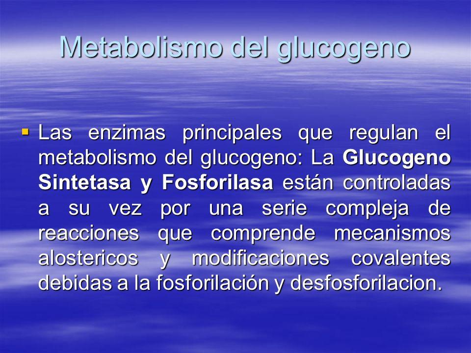 Metabolismo del glucogeno Las enzimas principales que regulan el metabolismo del glucogeno: La Glucogeno Sintetasa y Fosforilasa están controladas a s