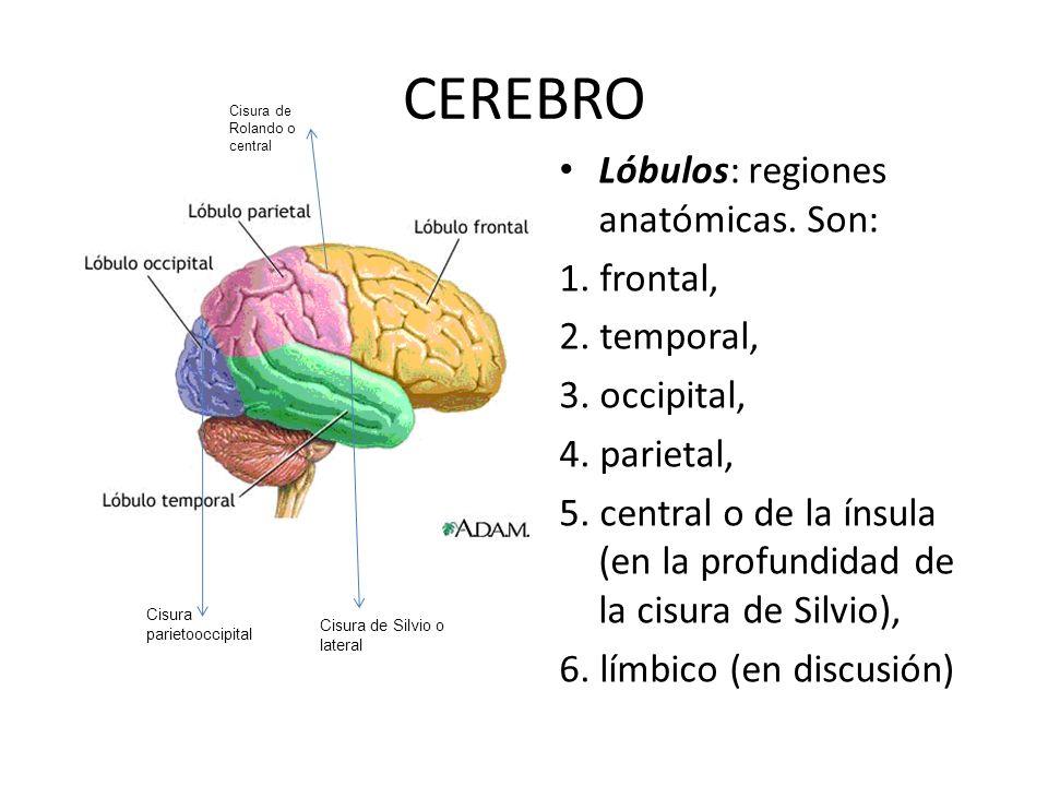 CEREBRO Lóbulos: regiones anatómicas. Son: 1. frontal, 2. temporal, 3. occipital, 4. parietal, 5. central o de la ínsula (en la profundidad de la cisu