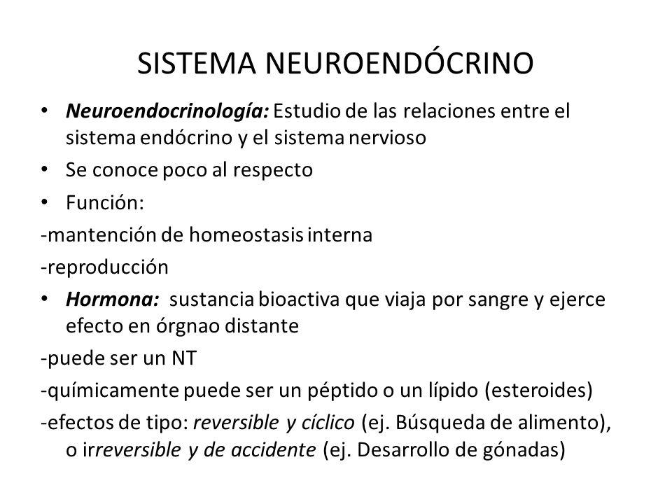 SISTEMA NEUROENDÓCRINO Neuroendocrinología: Estudio de las relaciones entre el sistema endócrino y el sistema nervioso Se conoce poco al respecto Func