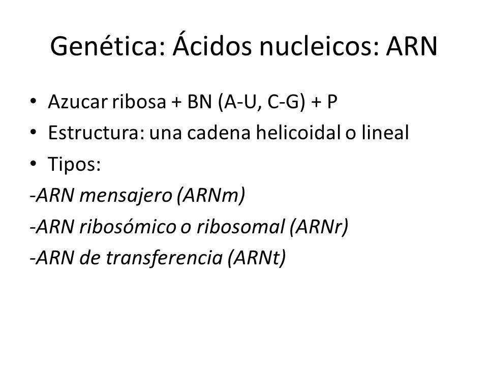 Genética: Ácidos nucleicos: ARN Azucar ribosa + BN (A-U, C-G) + P Estructura: una cadena helicoidal o lineal Tipos: -ARN mensajero (ARNm) -ARN ribosóm