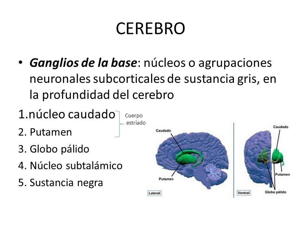 CEREBRO Ganglios de la base: núcleos o agrupaciones neuronales subcorticales de sustancia gris, en la profundidad del cerebro 1.núcleo caudado 2. Puta