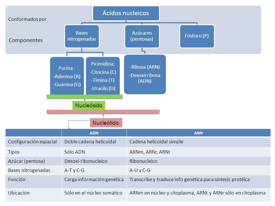 Componentes Conformados por Ácidos nucleicos Bases nitrogenadas Purina : -Adenina (A) -Guanina (G) Pirimidina: -Citocina (C) -Timina (T) -Uracilo (U)