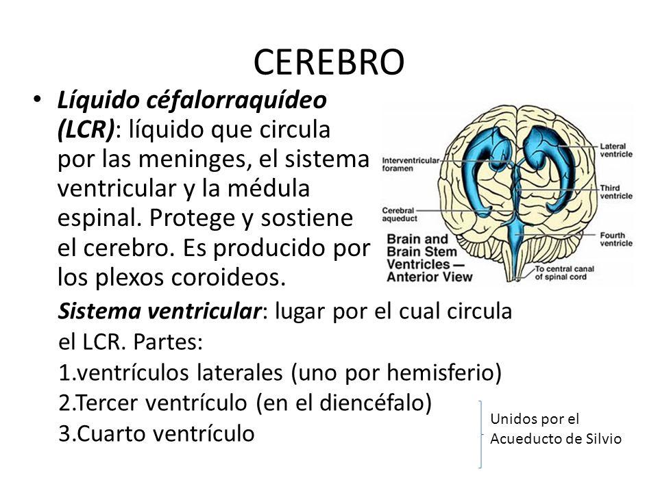 CEREBRO Líquido céfalorraquídeo (LCR): líquido que circula por las meninges, el sistema ventricular y la médula espinal. Protege y sostiene el cerebro