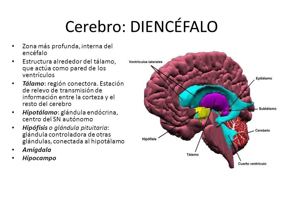 Cerebro: DIENCÉFALO Zona más profunda, interna del encéfalo Estructura alrededor del tálamo, que actúa como pared de los ventrículos Tálamo: región co