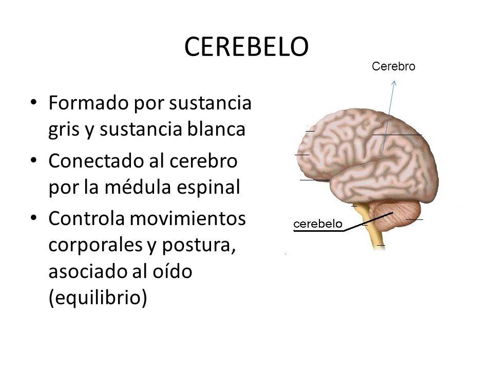 CEREBELO Formado por sustancia gris y sustancia blanca Conectado al cerebro por la médula espinal Controla movimientos corporales y postura, asociado