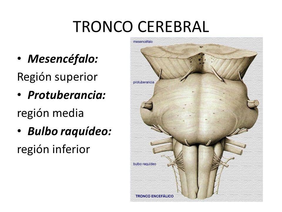 Moderno Anatomía De La Protuberancia Ornamento - Imágenes de ...