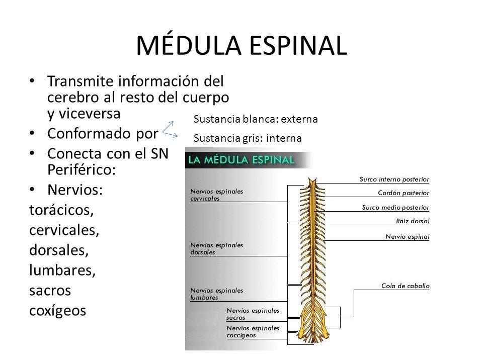 MÉDULA ESPINAL Transmite información del cerebro al resto del cuerpo y viceversa Conformado por Conecta con el SN Periférico: Nervios: torácicos, cerv
