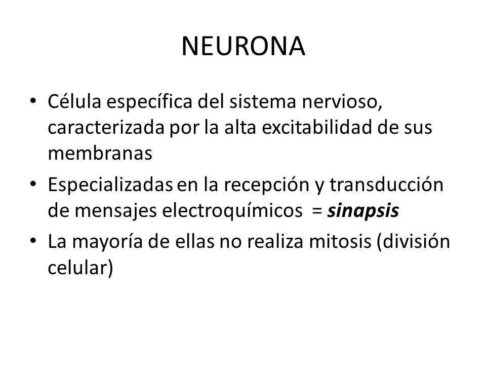 NEURONA Célula específica del sistema nervioso, caracterizada por la alta excitabilidad de sus membranas Especializadas en la recepción y transducción