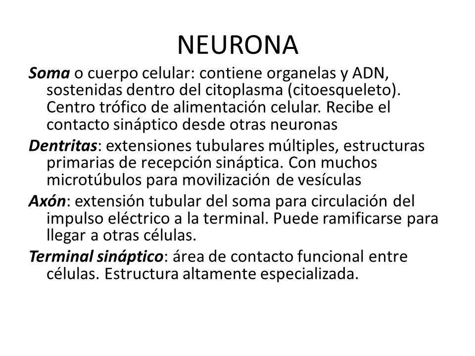 NEURONA Soma o cuerpo celular: contiene organelas y ADN, sostenidas dentro del citoplasma (citoesqueleto). Centro trófico de alimentación celular. Rec
