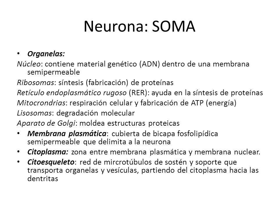 Neurona: SOMA Organelas: Núcleo: contiene material genético (ADN) dentro de una membrana semipermeable Ribosomas: síntesis (fabricación) de proteínas
