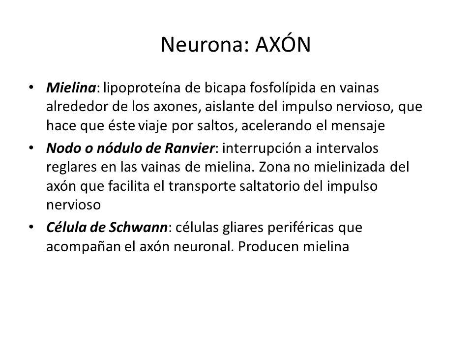 Neurona: AXÓN Mielina: lipoproteína de bicapa fosfolípida en vainas alrededor de los axones, aislante del impulso nervioso, que hace que éste viaje po