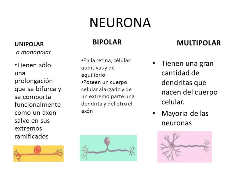 NEURONA UNIPOLAR o monopolar Tienen sólo una prolongación que se bifurca y se comporta funcionalmente como un axón salvo en sus extremos ramificados B