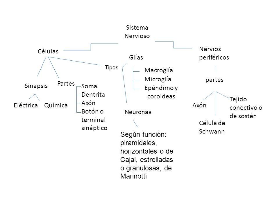 Sistema Nervioso Células Nervios periféricos Sinapsis QuímicaEléctrica Partes Soma Dentrita Axón Botón o terminal sináptico Glías Macroglía Microglía