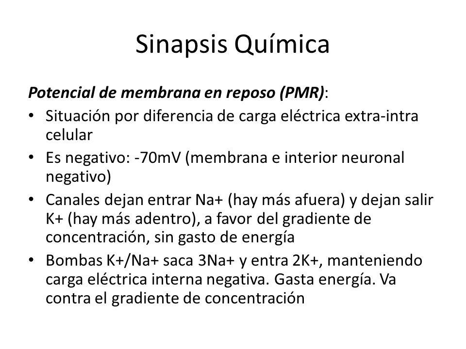 Potencial de membrana en reposo (PMR): Situación por diferencia de carga eléctrica extra-intra celular Es negativo: -70mV (membrana e interior neurona