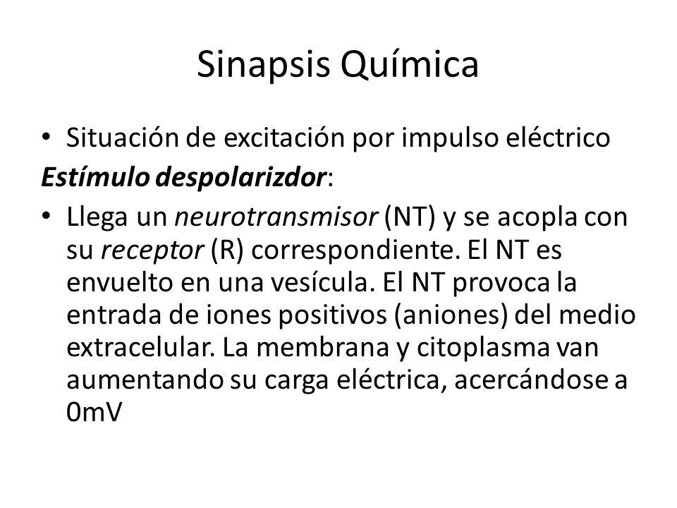Sinapsis Química Situación de excitación por impulso eléctrico Estímulo despolarizdor: Llega un neurotransmisor (NT) y se acopla con su receptor (R) c