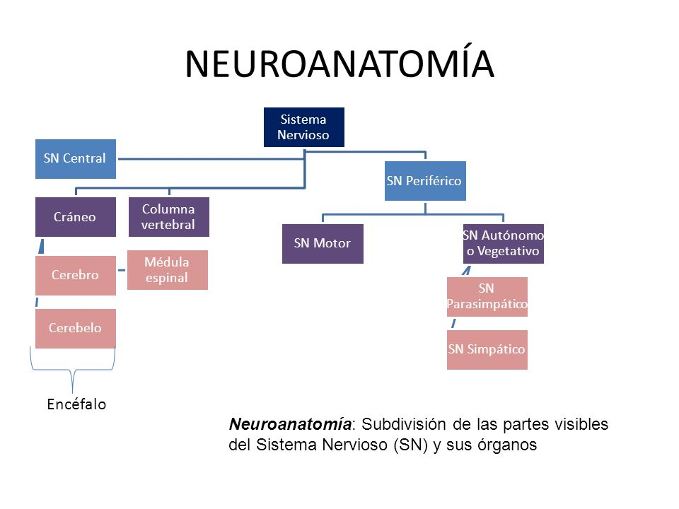 NEUROANATOMÍA Sistema Nervioso Cráneo Cerebro Cerebelo Médula espinal Columna vertebral SN Periférico SN Motor SN Autónomo o Vegetativo SN Parasimpáti