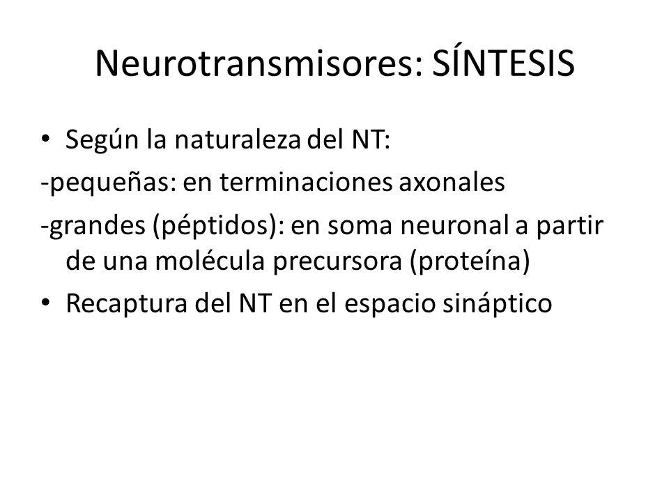 Neurotransmisores: SÍNTESIS Según la naturaleza del NT: -pequeñas: en terminaciones axonales -grandes (péptidos): en soma neuronal a partir de una mol
