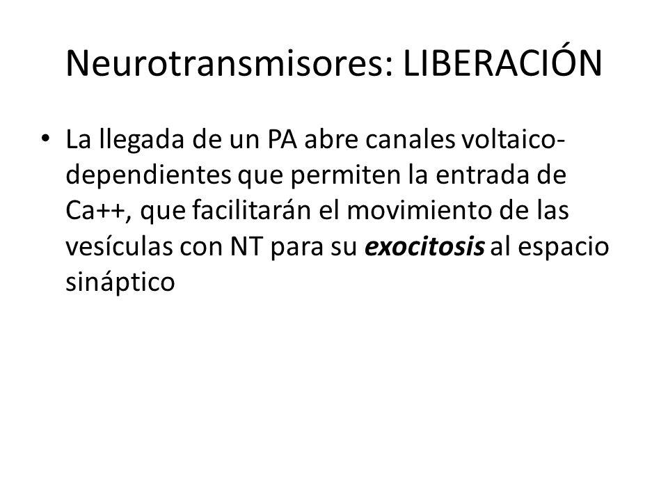 Neurotransmisores: LIBERACIÓN La llegada de un PA abre canales voltaico- dependientes que permiten la entrada de Ca++, que facilitarán el movimiento d