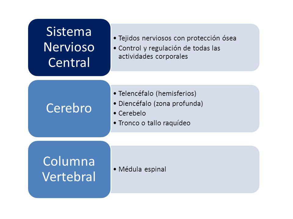 Tejidos nerviosos con protección ósea Control y regulación de todas las actividades corporales Sistema Nervioso Central Telencéfalo (hemisferios) Dien