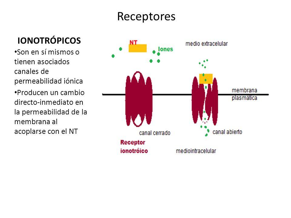 Receptores IONOTRÓPICOS Son en sí mismos o tienen asociados canales de permeabilidad iónica Producen un cambio directo-inmediato en la permeabilidad d
