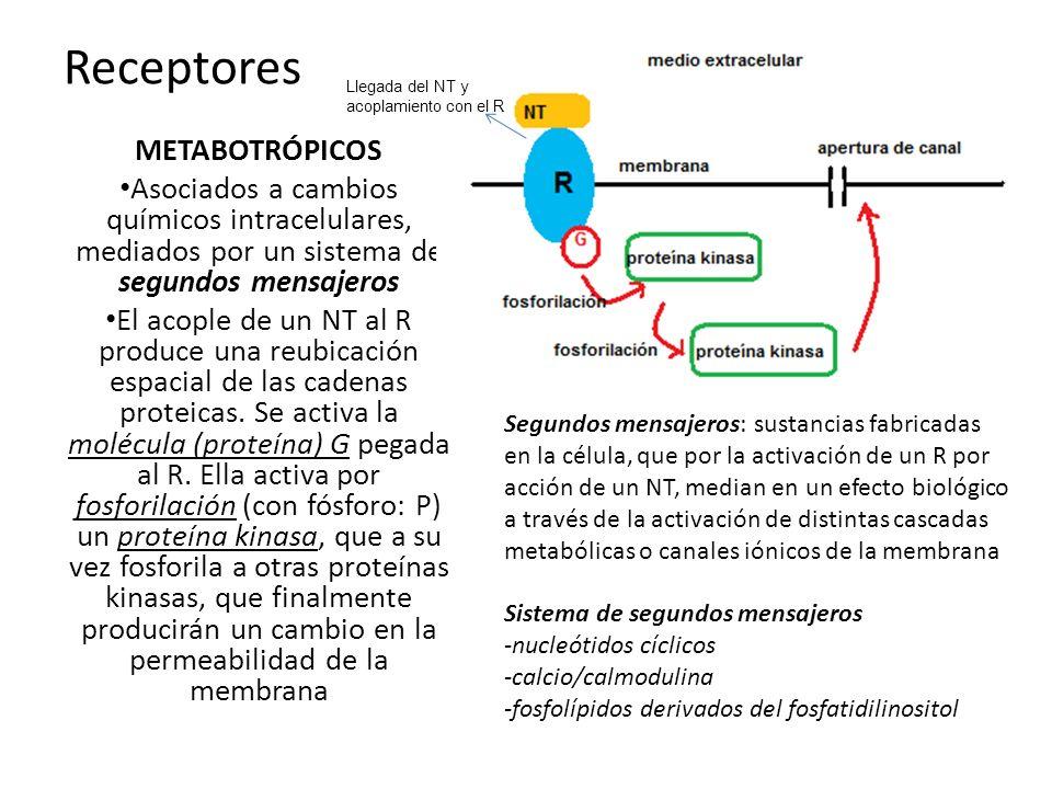 Receptores METABOTRÓPICOS Asociados a cambios químicos intracelulares, mediados por un sistema de segundos mensajeros El acople de un NT al R produce