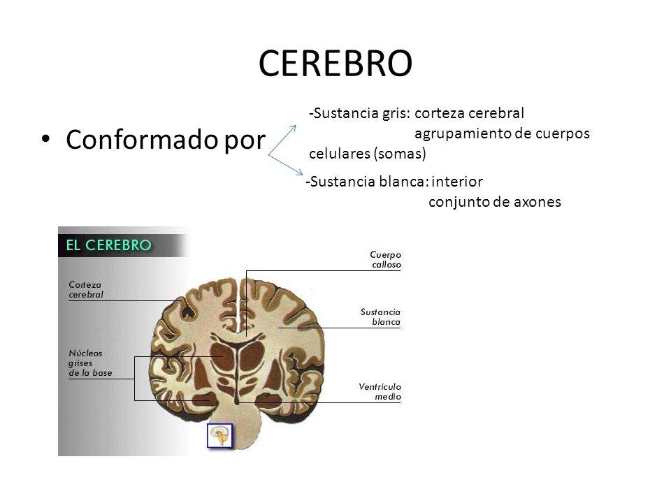 CEREBRO Conformado por -Sustancia gris: corteza cerebral agrupamiento de cuerpos celulares (somas) -Sustancia blanca: interior conjunto de axones