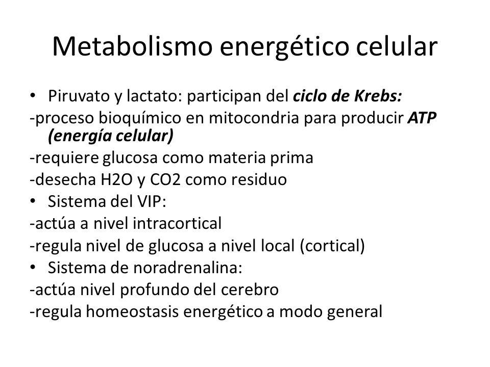 Metabolismo energético celular Piruvato y lactato: participan del ciclo de Krebs: -proceso bioquímico en mitocondria para producir ATP (energía celula