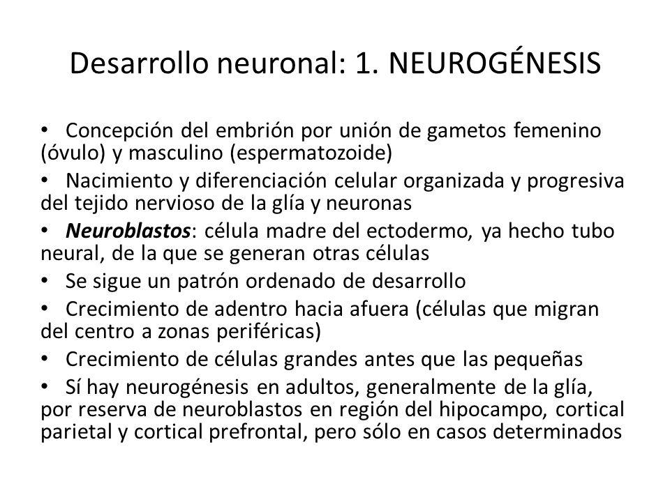 Desarrollo neuronal: 1. NEUROGÉNESIS Concepción del embrión por unión de gametos femenino (óvulo) y masculino (espermatozoide) Nacimiento y diferencia