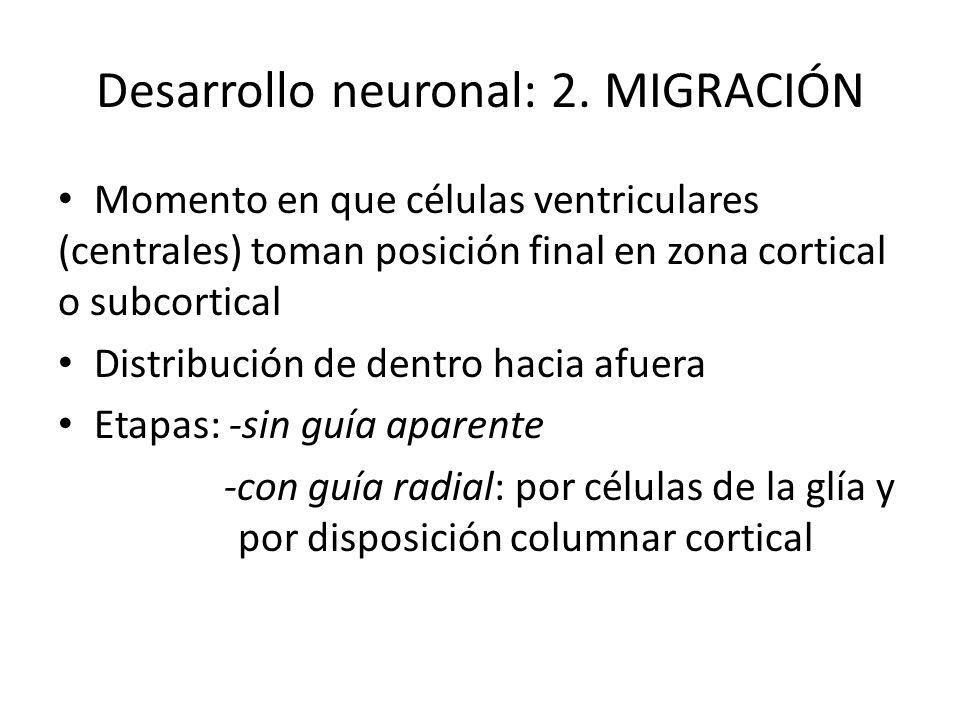 Desarrollo neuronal: 2. MIGRACIÓN Momento en que células ventriculares (centrales) toman posición final en zona cortical o subcortical Distribución de