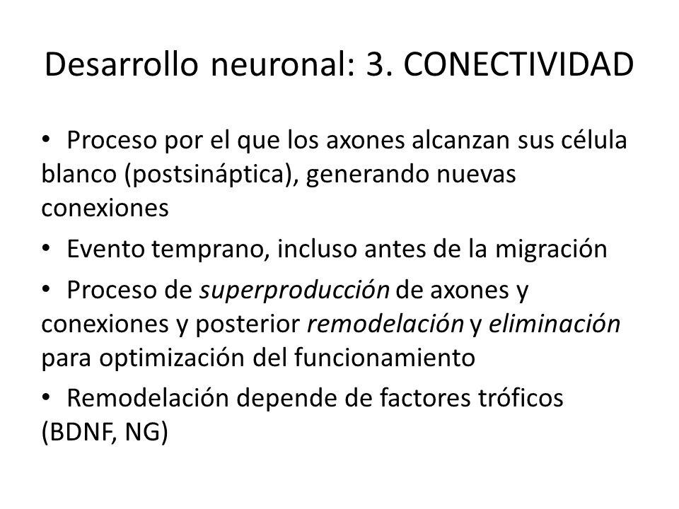 Desarrollo neuronal: 3. CONECTIVIDAD Proceso por el que los axones alcanzan sus célula blanco (postsináptica), generando nuevas conexiones Evento temp